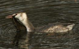 Ένα μεγάλος-λοφιοφόρο Grebe Podiceps cristatus ζάλης που κολυμπά σε έναν ποταμό με το ζιζάνιο στο ράμφος του Στοκ Φωτογραφία