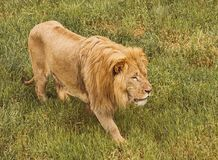 Ένα μεγάλο καστανοκοκκινωπό λιοντάρι που κινείται αργά μέσω της χλόης Στοκ φωτογραφία με δικαίωμα ελεύθερης χρήσης