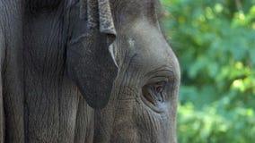 Ένα μεγάλο κεφάλι ελεφάντων ` s γυρίζει αργά κατά μέρος σε έναν ζωολογικό κήπο το καλοκαίρι απόθεμα βίντεο