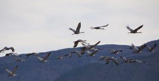 Ένα μεγάλο κοπάδι των γερανών Sandhill στοκ φωτογραφίες