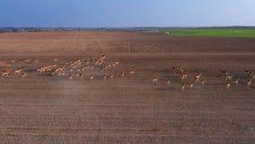 Ένα μεγάλο κοπάδι των ελαφιών, αρσενικά και θηλυκά, από τους κηφήνες σε ένα αγρόκτημα τομέων φιλμ μικρού μήκους