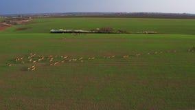 Ένα μεγάλο κοπάδι των ελαφιών, αρσενικά και θηλυκά, από τους κηφήνες σε ένα αγρόκτημα τομέων απόθεμα βίντεο