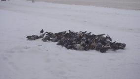 Ένα μεγάλο κοπάδι των περιστεριών σε αναζήτηση των τροφίμων στην πόλη, παγωμένος καιρός χιονίζει, χειμώνας, κινηματογράφηση σε πρ φιλμ μικρού μήκους