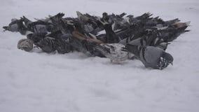 Ένα μεγάλο κοπάδι των περιστεριών σε αναζήτηση των τροφίμων στην πόλη, παγωμένος καιρός χιονίζει, χειμώνας, κινηματογράφηση σε πρ απόθεμα βίντεο