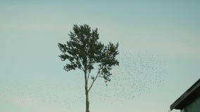 Ένα μεγάλο κοπάδι των πουλιών απογειώνεται από ένα μόνο μόνιμο δέντρο σε σε αργή κίνηση φιλμ μικρού μήκους