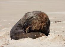 Ένα μεγάλο λιοντάρι θάλασσας της Νέας Ζηλανδίας που στηρίζεται σε μια παραλία στον κόλπο του Σουράτ στο Catlins στο νότιο νησί στ στοκ φωτογραφία με δικαίωμα ελεύθερης χρήσης