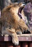 Οι βρυχηθμοί λιονταριών ένα μεγάλο λιοντάρι με βρυχηθμούς τους όμορφους πολύβλαστους Μάιν που αγνοούν το ευρύ κόκκινο στόμα με το στοκ φωτογραφία με δικαίωμα ελεύθερης χρήσης