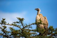 Ένα μεγάλο πουλί του θηράματος κάθεται σε έναν κλάδο στοκ εικόνα με δικαίωμα ελεύθερης χρήσης