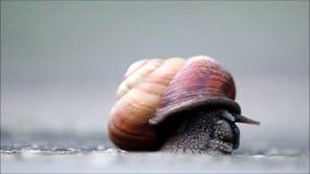 Ένα μεγάλο σαλιγκάρι προκύπτει αργά από το κοχύλι φιλμ μικρού μήκους
