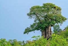 Ένα μεγάλο όμορφο δέντρο αδανσωνιών στο φως ξημερωμάτων Στοκ φωτογραφία με δικαίωμα ελεύθερης χρήσης
