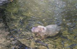 Ένα μεγάλο capybara σε μια λίμνη στο ζωολογικό κήπο στοκ εικόνες με δικαίωμα ελεύθερης χρήσης