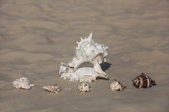 Ένα μεγάλο, άσπρο σε μαύρο σημείο και πέντε μικρά, διαφορετικά κοχύλια μαλακίων χρώματος που βρίσκονται στην άμμο Στοκ εικόνα με δικαίωμα ελεύθερης χρήσης