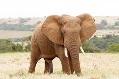 Ένα μεγάλο αφρικανικός ελέφαντας θάμνων Στοκ Εικόνα