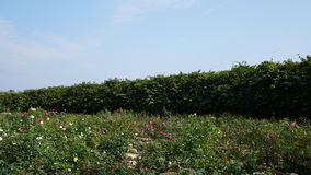 Ένα μεγάλο κόκκινο τοπίο τριαντάφυλλων Στοκ φωτογραφία με δικαίωμα ελεύθερης χρήσης