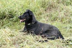 Ένα μεγάλο μαύρο σκυλί στη φύση Στοκ φωτογραφίες με δικαίωμα ελεύθερης χρήσης