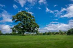 Ένα μεγάλο δρύινο δέντρο 2 στοκ εικόνα