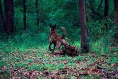 Ένα μεγάλο σκυλί κλωτσά τα φύλλα κατά τη διάρκεια ενός δασικού πεζοπορώ Στοκ εικόνες με δικαίωμα ελεύθερης χρήσης