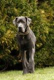 Ένα μεγάλο σκυλί Δανών Στοκ φωτογραφία με δικαίωμα ελεύθερης χρήσης