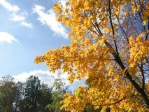 Ένα μεγάλο, φωτεινό, όμορφο δέντρο σφενδάμνου καίγεται με το φωτεινό, φύλλωμα φθινοπώρου του Στοκ εικόνα με δικαίωμα ελεύθερης χρήσης