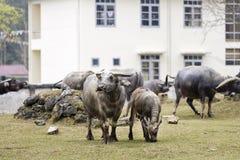 Ένα μεγάλο Buffalo Στοκ Φωτογραφία