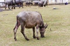 Ένα μεγάλο Buffalo Στοκ Εικόνες