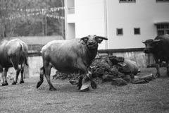 Ένα μεγάλο Buffalo Στοκ εικόνες με δικαίωμα ελεύθερης χρήσης