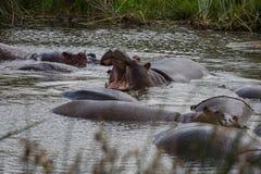 Ένα μεγάλο hippo που βρυχείται στο νερό Στοκ φωτογραφίες με δικαίωμα ελεύθερης χρήσης