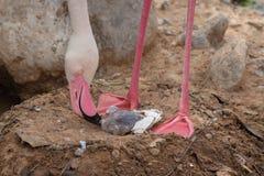 Ένα μεγαλύτερο roseus Phoenicopterus φλαμίγκο μητέρων και ένα νέο μωρό στοκ φωτογραφία με δικαίωμα ελεύθερης χρήσης