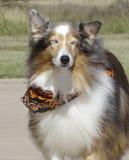 Ένα μεταδιδόμενο μέσω του ανέμου κοκκώδες τσοπανόσκυλο Merle Shetland σε αποκριές Στοκ Εικόνες
