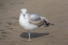 Ένα με πόδια seagull που στέκεται στην παραλία Στοκ εικόνες με δικαίωμα ελεύθερης χρήσης