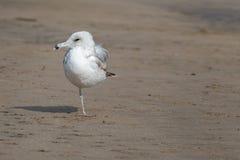 Ένα με πόδια seagull που φαίνεται αριστερό Στοκ Εικόνες