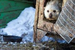 Ένα μιγία σκυλί σε μια αλυσίδα το χειμώνα Στοκ Εικόνες