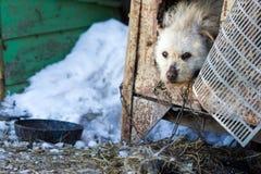 Ένα μιγία σκυλί σε μια αλυσίδα το χειμώνα Στοκ Φωτογραφία