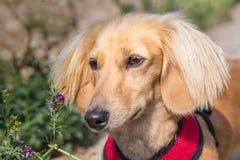 Ένα μικροσκοπικό μακρυμάλλες dachshund Στοκ εικόνα με δικαίωμα ελεύθερης χρήσης