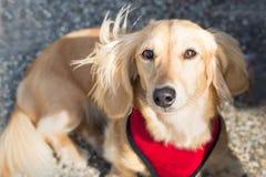 Ένα μικροσκοπικό μακρυμάλλες dachshund Στοκ εικόνες με δικαίωμα ελεύθερης χρήσης
