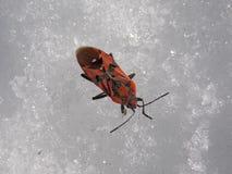 Ένα μικροσκοπικό πορτοκαλί έντομο στο χιόνι στοκ φωτογραφία
