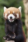Η μικρότερη Panda Στοκ Εικόνες