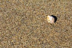 Ένα μικρό θαλασσινό κοχύλι στην αμμώδη παραλία στην παραλία Μαύρης Θάλασσας σε Obzor, Βουλγαρία Στοκ Φωτογραφία