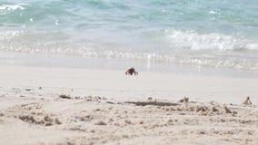 Ένα μικρό καβούρι τρέχει μακρυά από το νερό απόθεμα βίντεο
