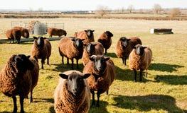 Πρόβατα Jacobs, πρόωρη ηλιοφάνεια ανοίξεων. Στοκ Εικόνα