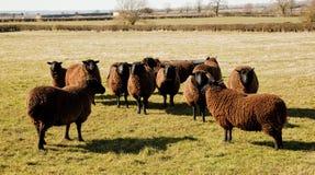 Πρόβατα Jacobs, πρόωρη ηλιοφάνεια ανοίξεων. Στοκ Φωτογραφία