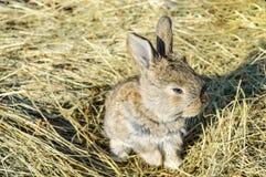 Ένα μικρό κουνέλι κάθεται σε έναν ξηρό σανό χλόης Στοκ Εικόνες