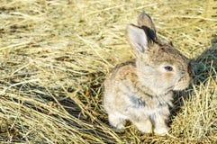 Ένα μικρό κουνέλι κάθεται σε έναν ξηρό σανό χλόης Στοκ φωτογραφία με δικαίωμα ελεύθερης χρήσης