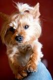 Ένα μικρό κουτάβι με ένα ευχάριστο, ευγενές βλέμμα Στοκ φωτογραφίες με δικαίωμα ελεύθερης χρήσης