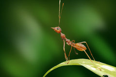 Ένα μικρό κόκκινο μυρμήγκι στοκ εικόνα