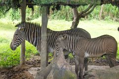 Ένα μικρό με ραβδώσεις στο ζωολογικό κήπο της Ταϊλάνδης στοκ φωτογραφία με δικαίωμα ελεύθερης χρήσης