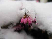 Ένα μικρό λουλούδι onder ένα στρώμα του χιονιού Στοκ Εικόνα