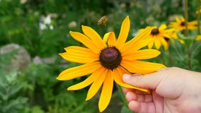 Ένα μικρό παιδί αγγίζει ένα κίτρινο λουλούδι Κινηματογράφηση σε πρώτο πλάνο ενός χεριού παιδιών ` s Μέλισσα στο κίτρινο λουλούδι απόθεμα βίντεο