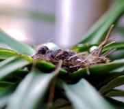 Ένα μικρό πουλί μωρών βάζει στη φωλιά περιμένοντας το πουλί μητέρων να ταΐσει τα τρόφιμα Στοκ εικόνα με δικαίωμα ελεύθερης χρήσης