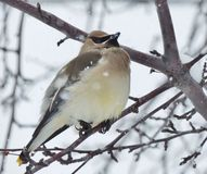 Ένα μικρό πουλί, ένα Βοημίας Waxwing, πέρκες μεταξύ των κλάδων ενός άγονου δέντρου μια χιονώδη ημέρα Στοκ Εικόνες